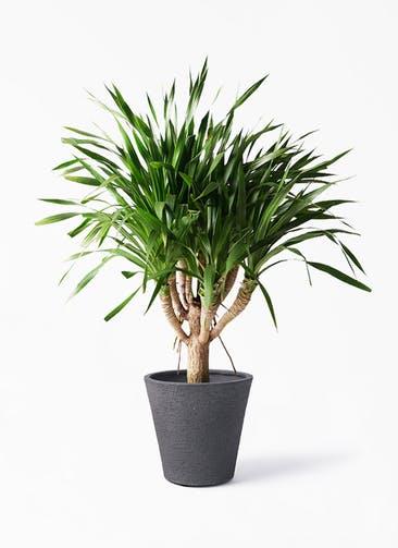 観葉植物 ドラセナ パラオ 8号 ビアスソリッド ブラック 付き