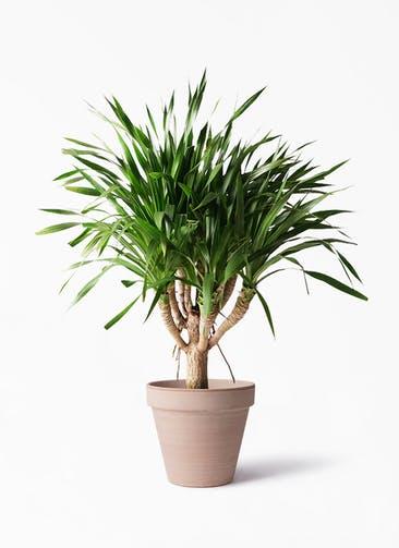 観葉植物 ドラセナ パラオ 8号 スタンダルド アリーナ 付き
