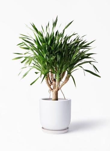 観葉植物 ドラセナ パラオ 8号 アファール 白 付き
