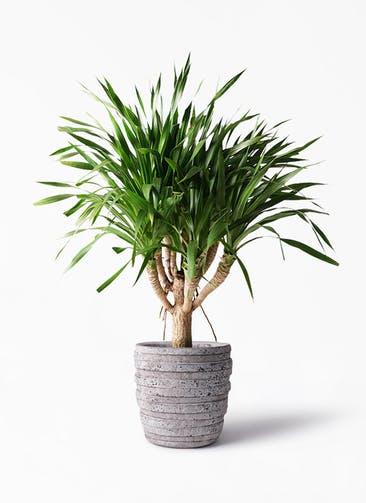 観葉植物 ドラセナ パラオ 8号 凛(りん)ラージS  付き