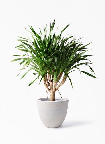 観葉植物 ドラセナ パラオ 8号 スタウト アッシュラウンド 付き