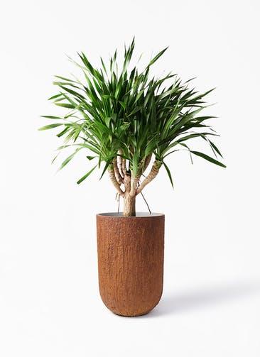 観葉植物 ドラセナ パラオ 8号 バル トール ラスティ 付き