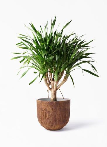 観葉植物 ドラセナ パラオ 8号 バル ユーポット ラスティ  付き