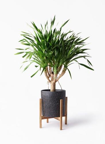観葉植物 ドラセナ パラオ 8号 ホルスト シリンダー スパークルブラック ウッドポットスタンド 付き