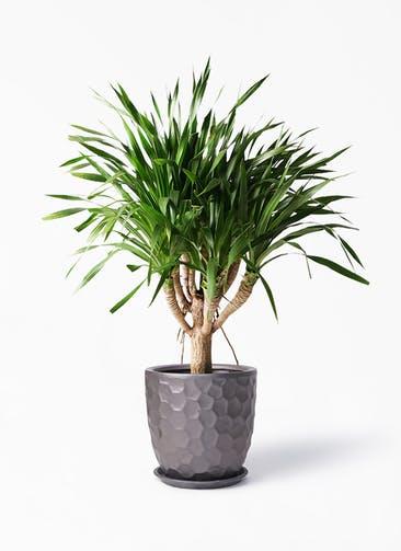 観葉植物 ドラセナ パラオ 8号 サンタクルストール ブロンズ 付き