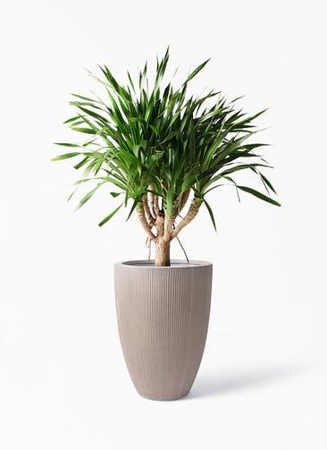 観葉植物 ドラセナ パラオ 8号 リブラ モノ ブラウン 付き