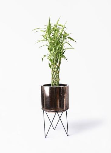 観葉植物 ドラセナ ミリオンバンブー(幸運の竹) 8号 ビトロ エンデカ ゴールド アイアンポットスタンド ブラック  付き