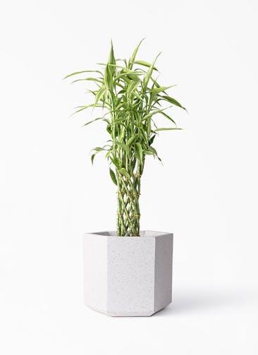 観葉植物 ドラセナ ミリオンバンブー(幸運の竹) 8号 コーテス ヘックス ホワイトテラゾ 付き