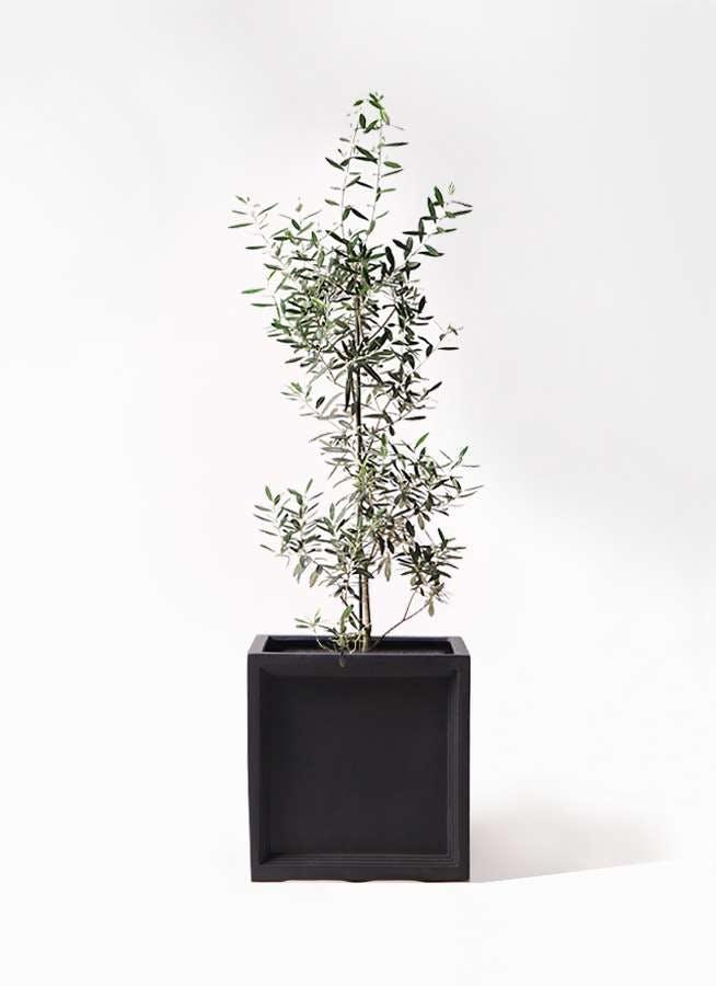 観葉植物 オリーブの木 8号 チプレッシーノ ブリティッシュキューブ 付き