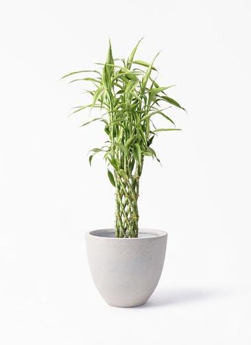 観葉植物 ドラセナ ミリオンバンブー(幸運の竹) 8号 スタウト アッシュラウンド 付き