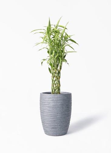観葉植物 ドラセナ ミリオンバンブー(幸運の竹) 8号 サン ミドル リッジ 灰  付き