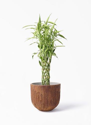 観葉植物 ドラセナ ミリオンバンブー(幸運の竹) 8号 バル ユーポット ラスティ  付き