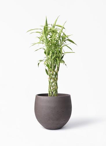 観葉植物 ドラセナ ミリオンバンブー(幸運の竹) 8号 アディラボウル 濃茶 付き
