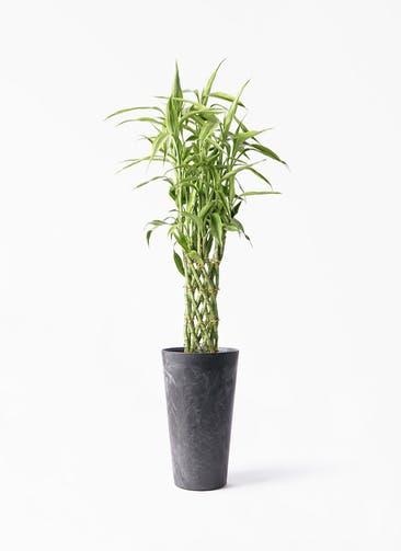 観葉植物 ドラセナ ミリオンバンブー(幸運の竹) 8号 アートストーン トールラウンド ブラック 付き