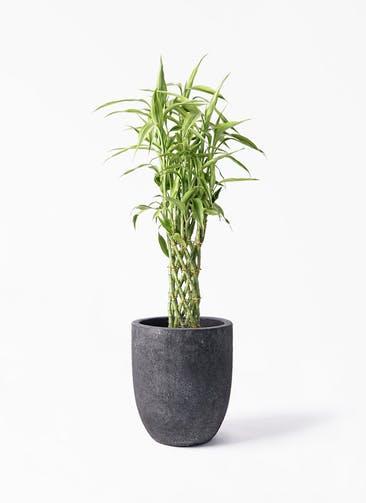 観葉植物 ドラセナ ミリオンバンブー(幸運の竹) 8号 フォリオアルトエッグ ブラックウォッシュ 付き