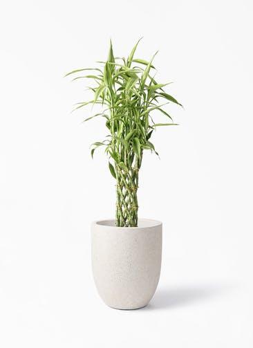 観葉植物 ドラセナ ミリオンバンブー(幸運の竹) 8号 フォリオアルトエッグ クリーム 付き