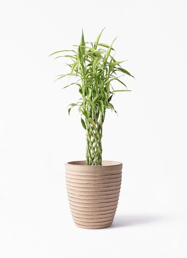 観葉植物 ドラセナ ミリオンバンブー(幸運の竹) 8号 ウィスク 975 付き