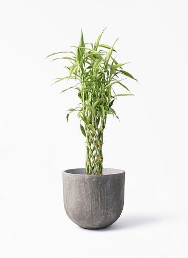 観葉植物 ドラセナ ミリオンバンブー(幸運の竹) 8号 バル ユーポット アンティークセメント 付き