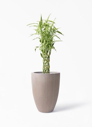 観葉植物 ドラセナ ミリオンバンブー(幸運の竹) 8号 リブラ モノ ブラウン 付き