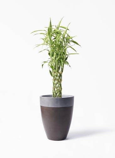 観葉植物 ドラセナ ミリオンバンブー(幸運の竹) 8号 ファイバーストーン カプリ マッドブラウン 付き