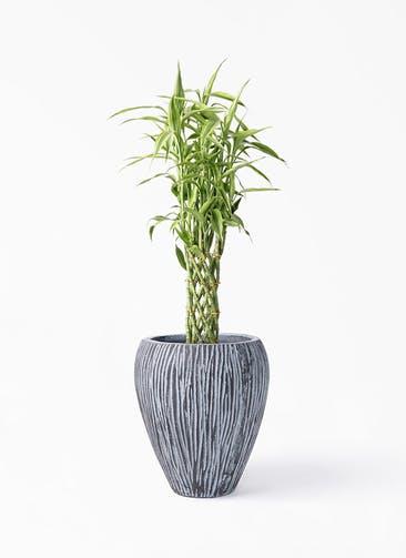 観葉植物 ドラセナ ミリオンバンブー(幸運の竹) 8号 コーテス ジャー チゼル 付き