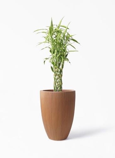 観葉植物 ドラセナ ミリオンバンブー(幸運の竹) 8号 リブラ モノ ラスティ 付き