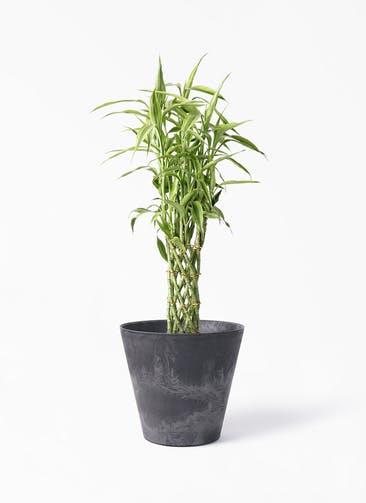 観葉植物 ドラセナ ミリオンバンブー(幸運の竹) 8号 アートストーン ラウンド ブラック 付き