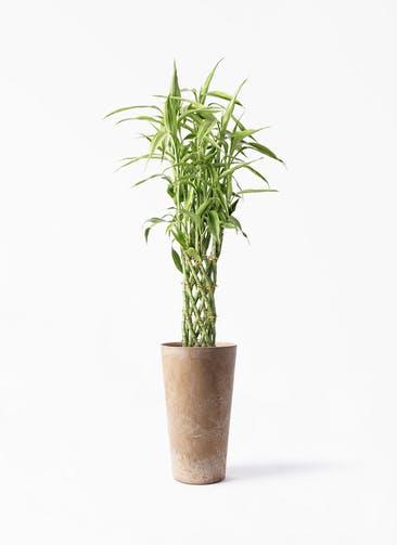 観葉植物 ドラセナ ミリオンバンブー(幸運の竹) 8号 アートストーン トールラウンド ベージュ 付き