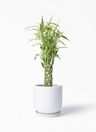 観葉植物 ドラセナ ミリオンバンブー(幸運の竹) 8号 アファール 白 付き