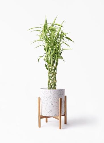 観葉植物 ドラセナ ミリオンバンブー(幸運の竹) 8号 ホルスト シリンダー スパークルホワイト ウッドポットスタンド 付き