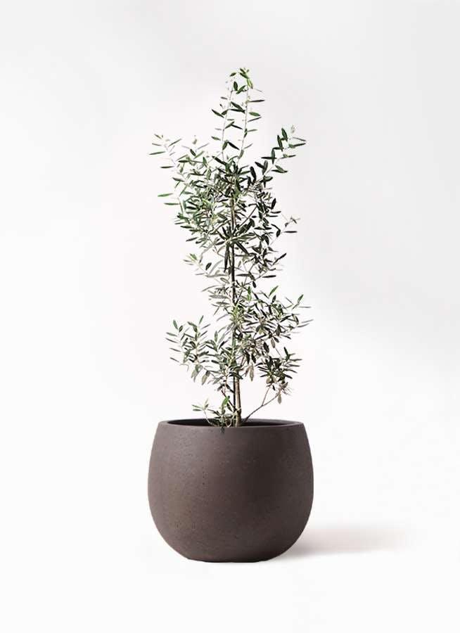 観葉植物 オリーブの木 8号 チプレッシーノ テラニアス ローバルーン アンティークブラウン 付き