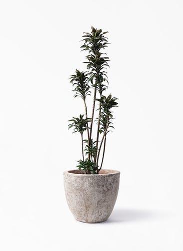 観葉植物 ドラセナ パープルコンパクタ 8号 アビスソニア ラウンド 付き