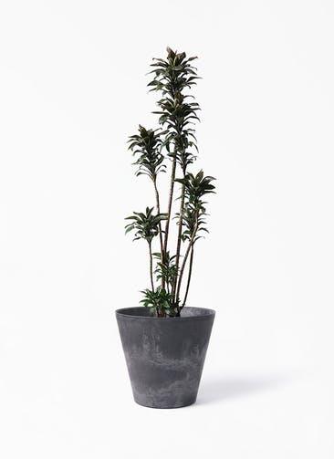 観葉植物 ドラセナ パープルコンパクタ 8号 アートストーン ラウンド ブラック 付き