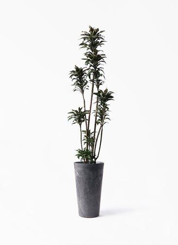 観葉植物 ドラセナ パープルコンパクタ 8号 アートストーン トールラウンド ブラック 付き