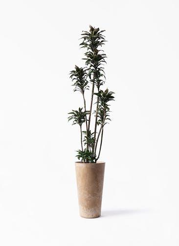 観葉植物 ドラセナ パープルコンパクタ 8号 アートストーン トールラウンド ベージュ 付き