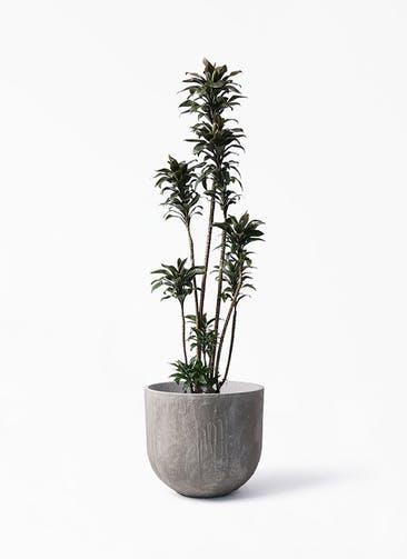 観葉植物 ドラセナ パープルコンパクタ 8号 バル ユーポット アンティークセメント 付き