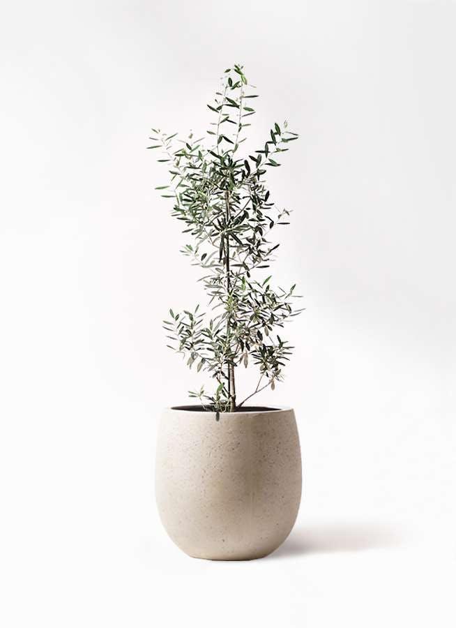 観葉植物 オリーブの木 8号 チプレッシーノ テラニアス バルーン アンティークホワイト 付き