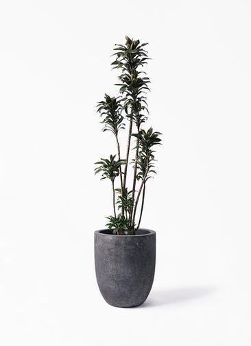 観葉植物 ドラセナ パープルコンパクタ 8号 フォリオアルトエッグ ブラックウォッシュ 付き