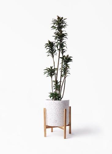 観葉植物 ドラセナ パープルコンパクタ 8号 ホルスト シリンダー スパークルホワイト ウッドポットスタンド 付き