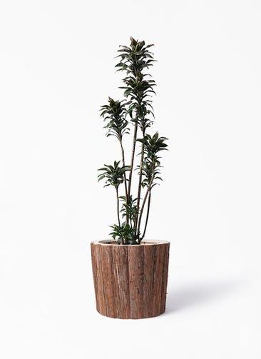 観葉植物 ドラセナ パープルコンパクタ 8号 ウッドポットカバー バーク 付き