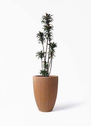 観葉植物 ドラセナ パープルコンパクタ 8号 リブラ モノ ラスティ 付き