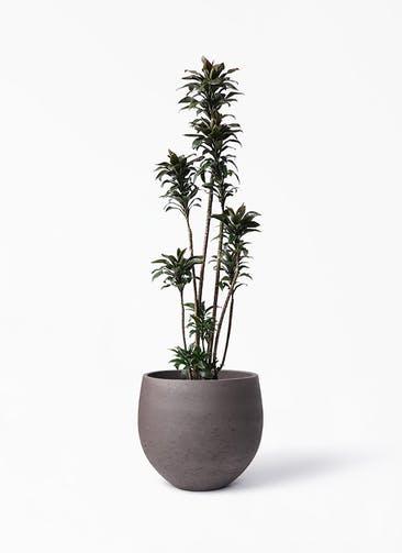 観葉植物 ドラセナ パープルコンパクタ 8号 アディラボウル 濃茶 付き