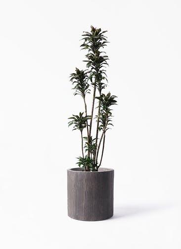 観葉植物 ドラセナ パープルコンパクタ 8号 アルファ シリンダープランター ウッド 付き
