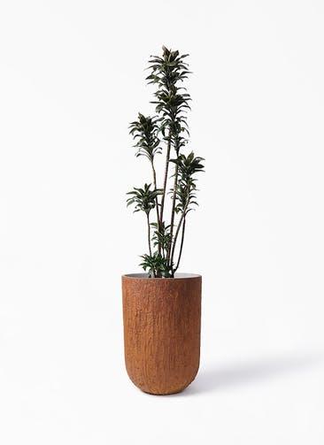 観葉植物 ドラセナ パープルコンパクタ 8号 バル トール ラスティ 付き