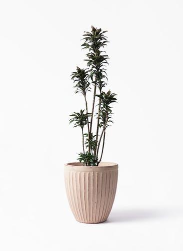 観葉植物 ドラセナ パープルコンパクタ 8号 ウィスク 980  付き
