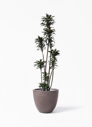 観葉植物 ドラセナ パープルコンパクタ 8号 エルム ラウンド ブラウン 付き