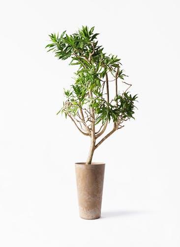 観葉植物 ドラセナ ソング オブ ジャマイカ 8号 アートストーン トールラウンド ベージュ 付き