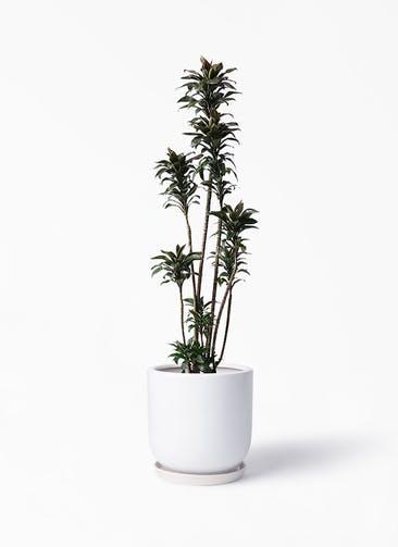 観葉植物 ドラセナ パープルコンパクタ 8号 アファール 白 付き
