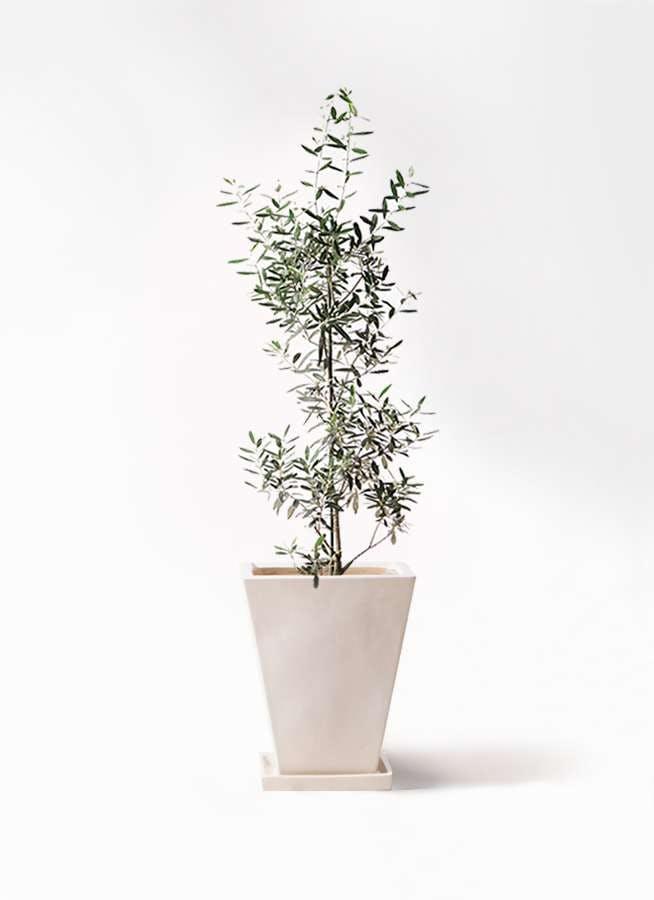 観葉植物 オリーブの木 8号 チプレッシーノ スクエアハット 白 付き