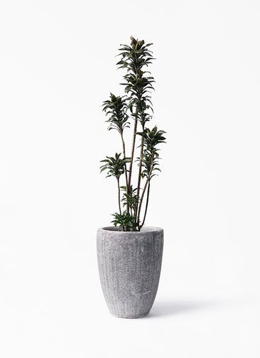 観葉植物 ドラセナ パープルコンパクタ 8号 アビスソニア トール 灰 付き